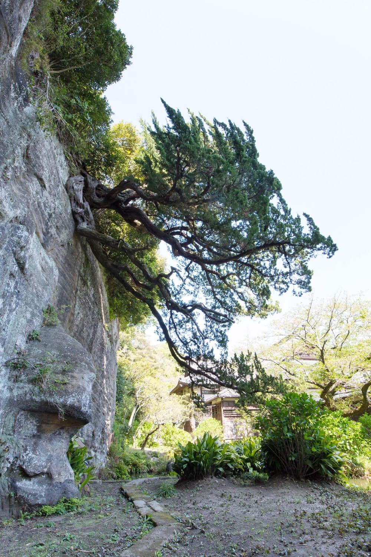 岩肌が露出した崖の上から、下に伸びるビャクシン。この景観を狙って植えたのか、偶然の産物であるかはわかっていない。非公開。