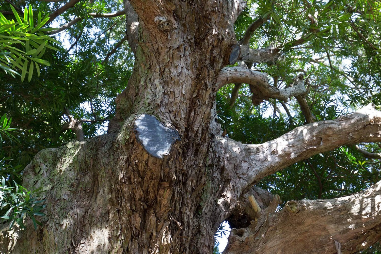 数年前の大雪で、マキの一部の枝が折れた。「その枝を使って、仏師さんに土紋付きの仏像を作ってもらっています」(大三輪住職)。