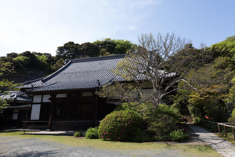 山門を入ってすぐ、客殿の横には、立派な菩提樹があり、6月中旬に花を咲かせる。