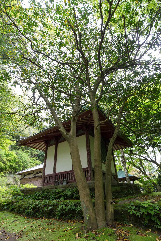 黒地蔵堂の裏にひっそりと立つ「太郎庵」と呼ばれるツバキ。別名「覚園寺椿」という。太い幹が3つに分かれているのが大きな特徴だ。