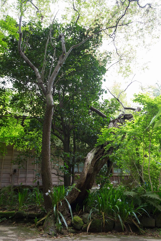 拝観受付所のすぐ先にあるナツグミ。1代目は老樹のため添え木で支えているが、その子供の2代目はまっすぐ屹立している。