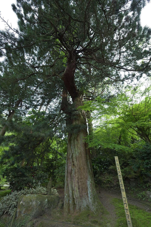 本堂「曇華殿」の背後にそびえ立つコウヤマキは、鎌倉随一の大きさを誇ると言われる。木の根元には、小さな仏像が安置されている。