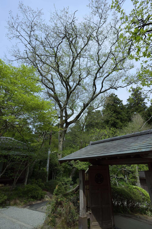 拝観受付の背後にあるタチヒガンは、ソメイヨシノよりも7~ 10日早く咲き誇る桜。樹齢120 年ともいわれる古木だ。