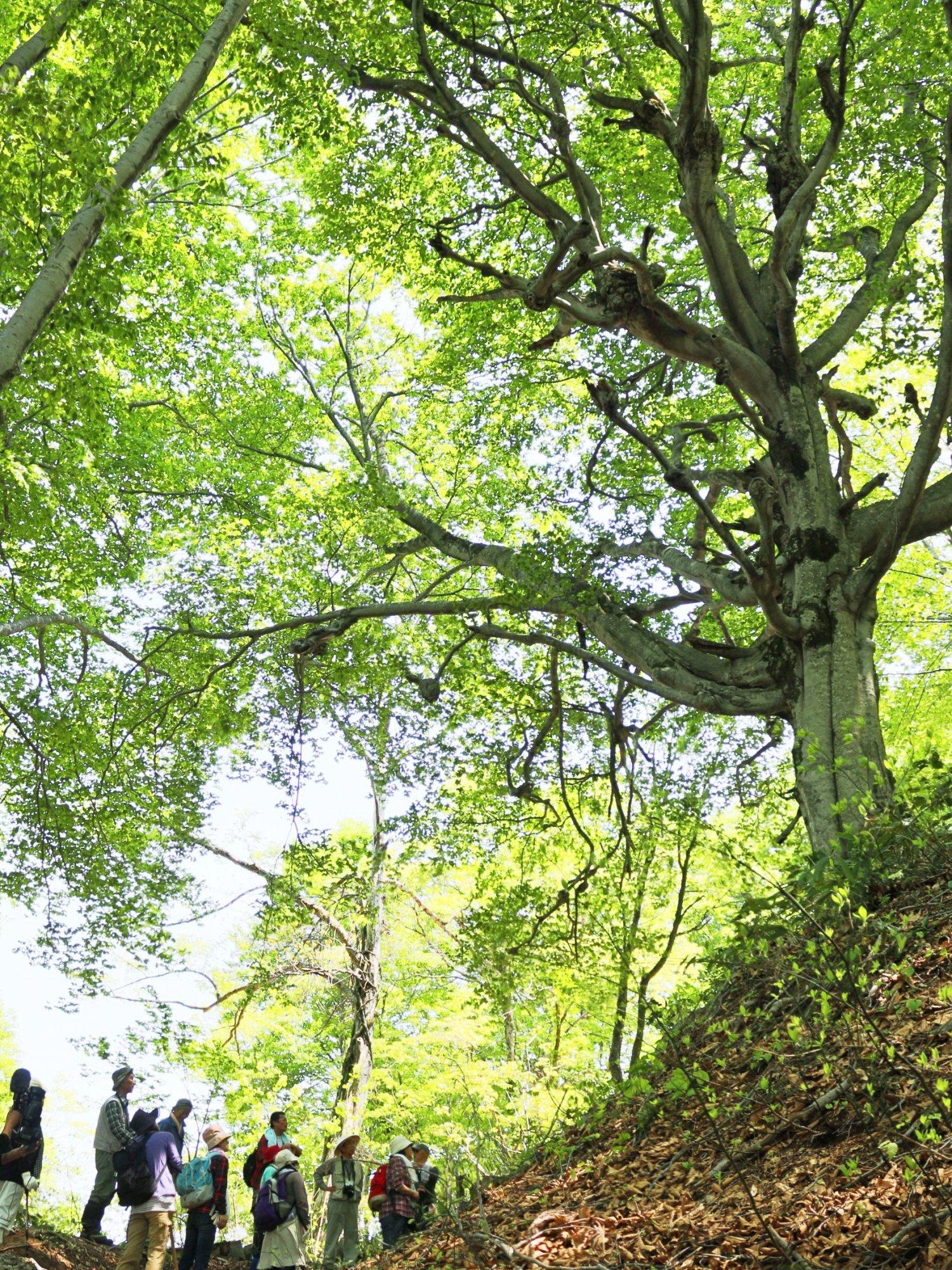 ブナ林が美しい道筋には史跡も多い。フルコース約30㎞、所要3日。