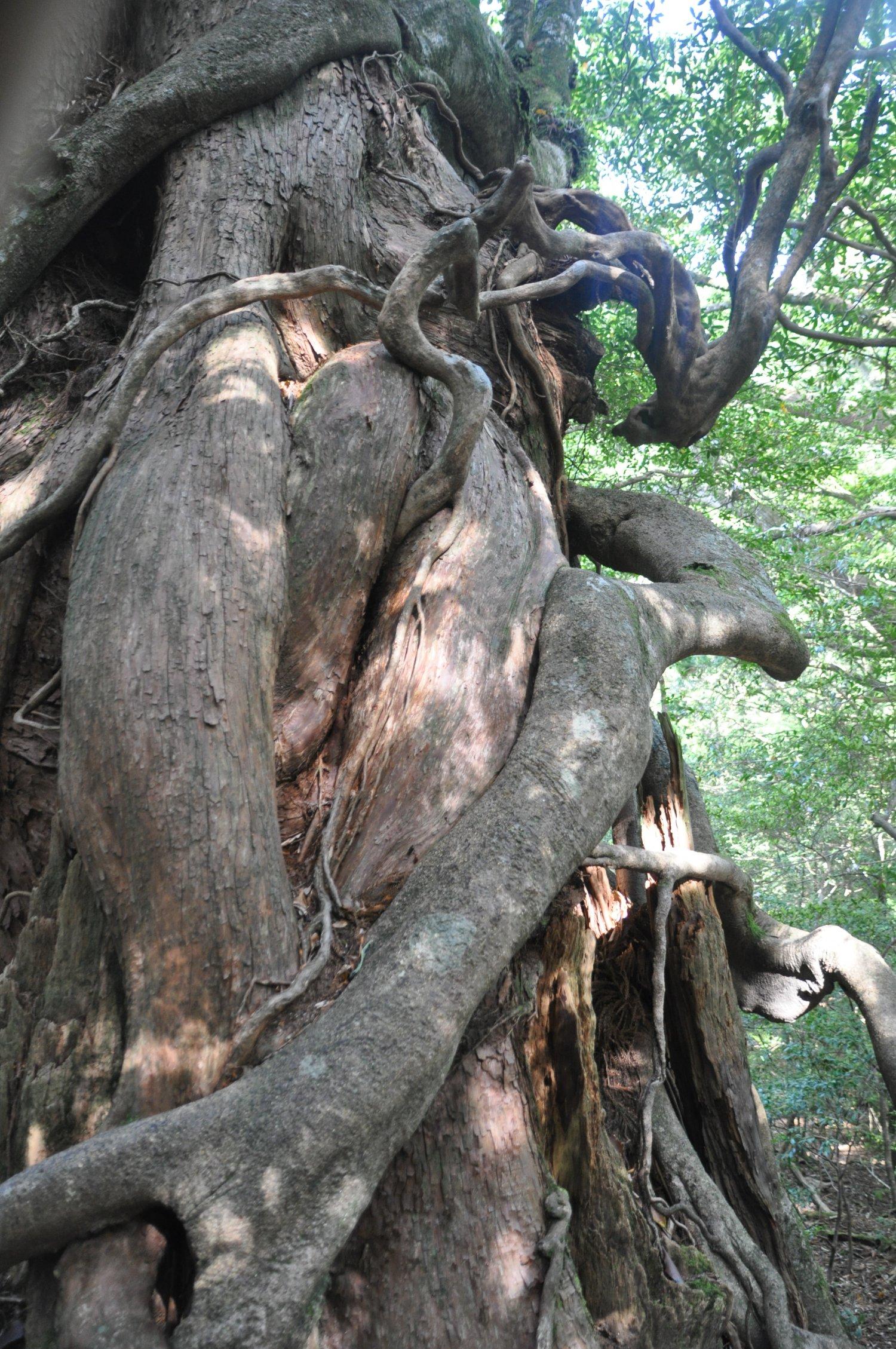 「しなやかな線が女体のよう」と公募で2013年に名付けられた女神杉。