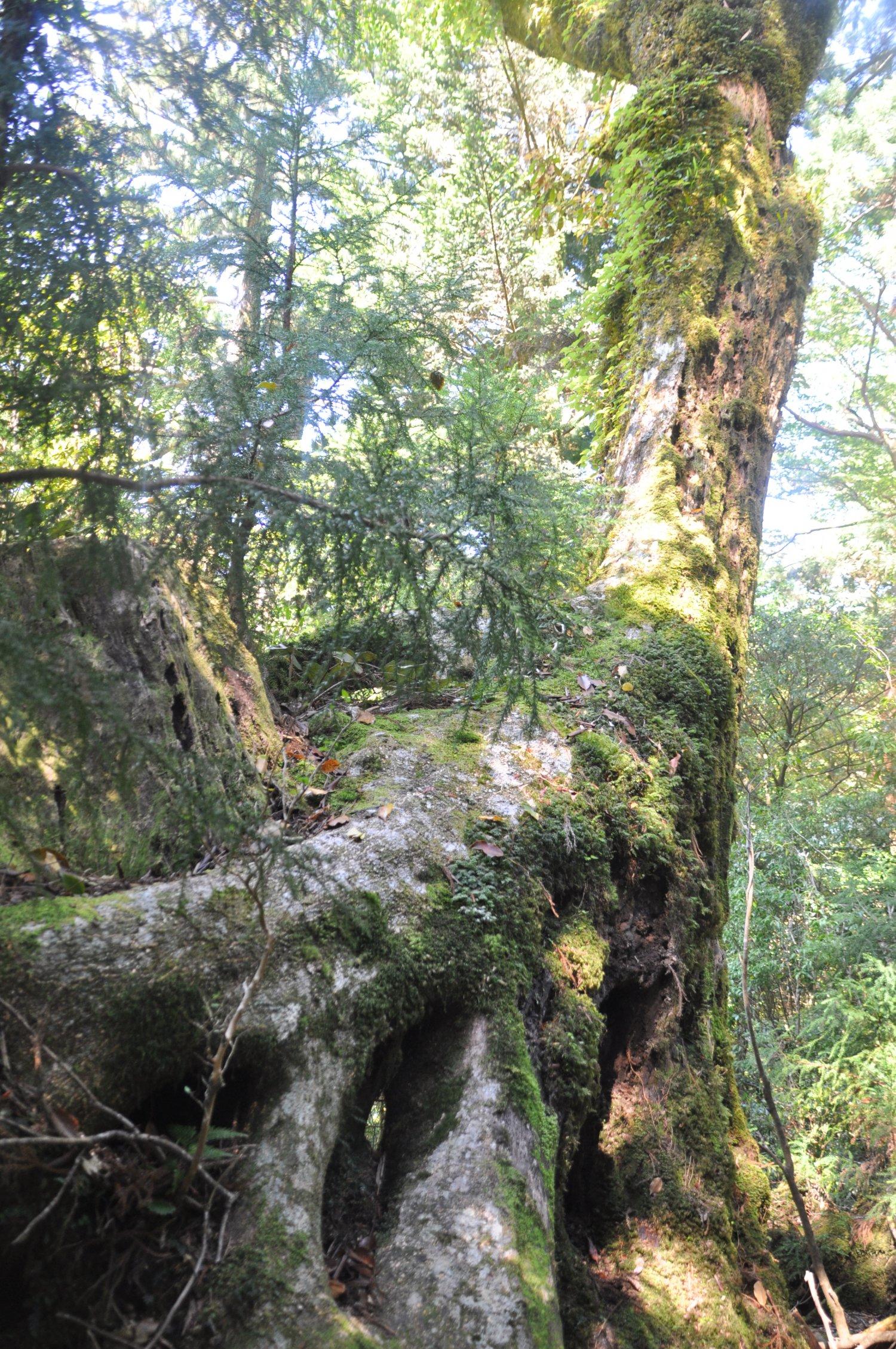 着生したスギを枯らして成長するヤマグルマは屋久島特有の景色。