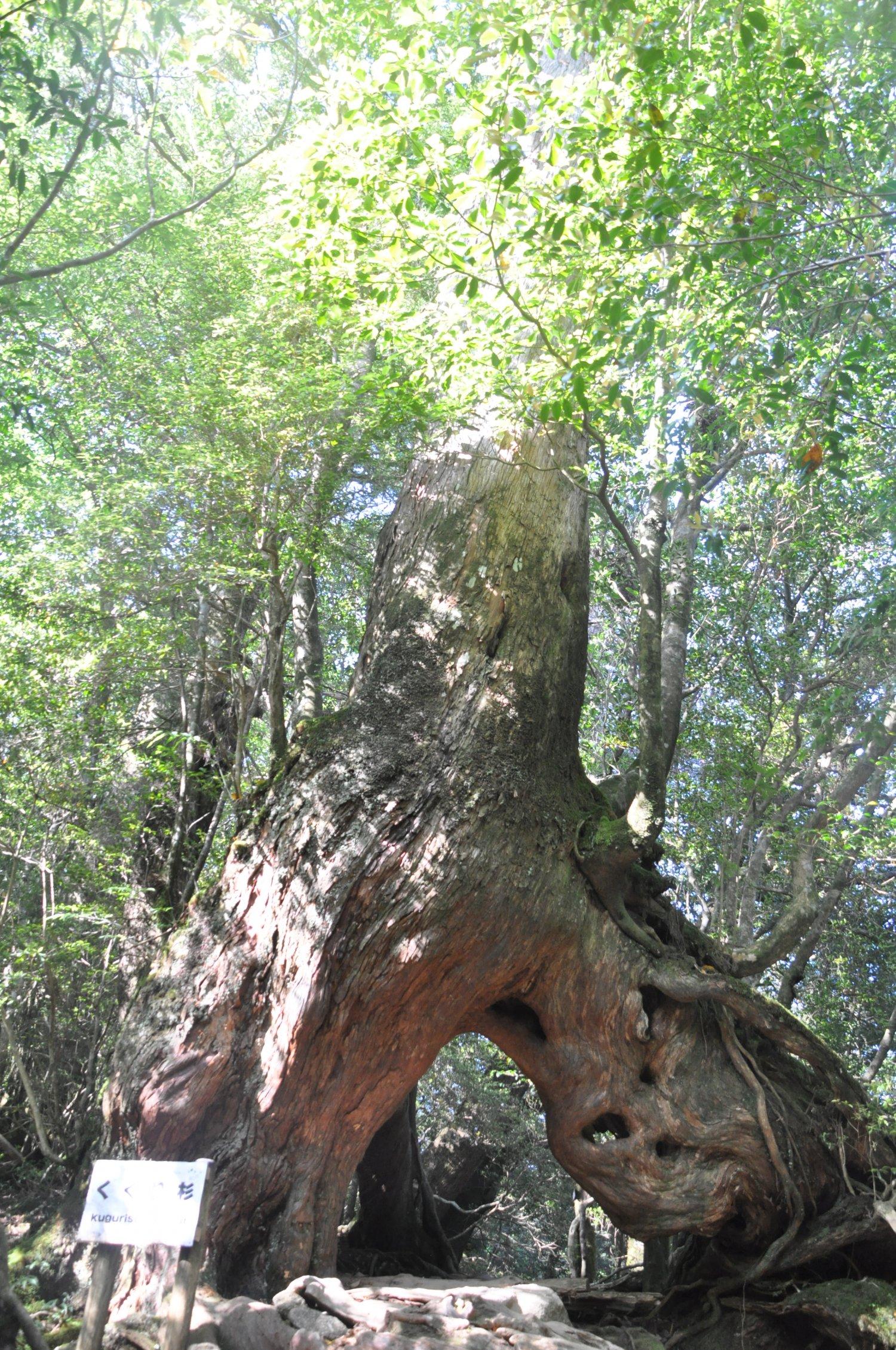 くぐり杉。ヤクスギは異形のために伐採を免れた側面もある。