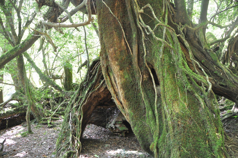ヤクスギと照葉樹林の混生。足元をめずらしいシダやコケが覆う。