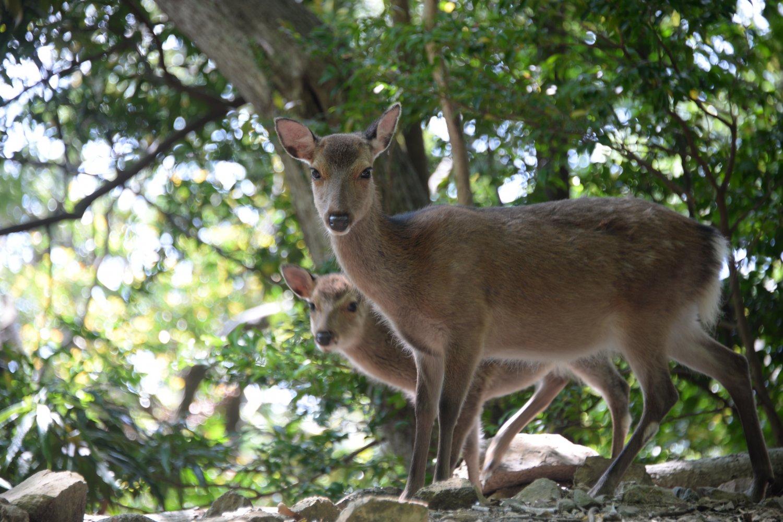 屋久島が舞台の椋鳩十の童話「片耳の大鹿」を思い出すが大きさは本土のシカより一回り小ぶり。