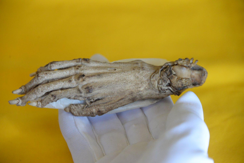 手は思いのほか小さい。甲に細かな毛が生え水かきが付いている。