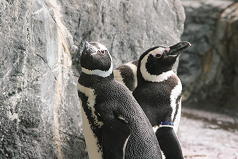 しながわ水族館のペンギンランドではマゼランペンギンを展示している