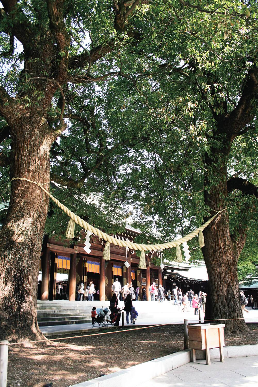 明治神宮拝殿前にある夫婦楠(クスノキ)。良縁を呼ぶパワースポットといわれている。