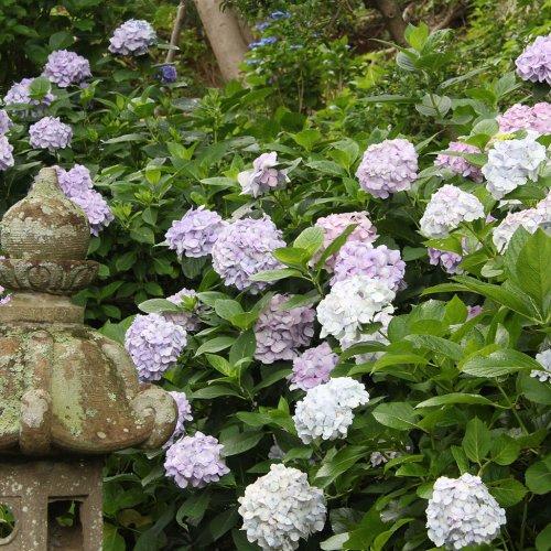 鎌倉アジサイの新名所を巡る。地元民おすすめスポットを紹介。