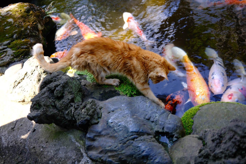 庭園突き当たりにある池には廃業した銭湯からゆずり受けた見事な錦鯉がいる。タカラ湯のアイドル猫、ボビー君は鯉と仲良し、運が良ければ会える。●F2.0 ●1/20秒 ●ISO200 ●Velviaモード