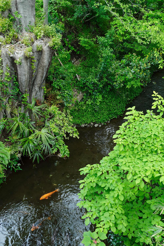 橋から玉川上水を見下ろすと鯉(コイ)が。「大きな鯉がたくさんいる。ちょっと怖いですね」。