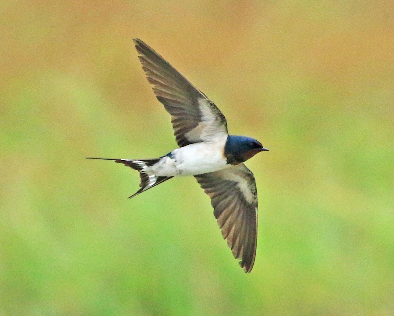 ツバメ/尾の長い方がオス。田畑に行くと、巣作りのための土を運ぶ姿も。