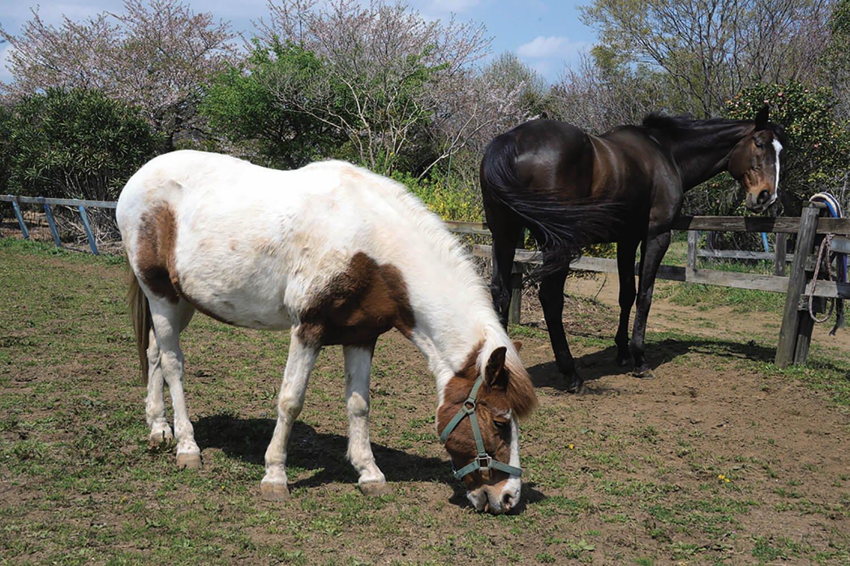 馬場の隣にある放牧場。散策しながら間近で見られる。