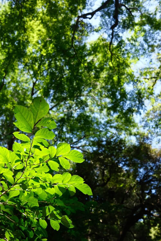 高麗山から下りてくると高来神社があるが、この周辺は戦時中の伐採を免れたので江戸時代の森が残っている。タブノキやスダジイなど、南方系の常緑広葉樹が多い。 ●F4 ●1/220秒 ●ISO320 ●Provia
