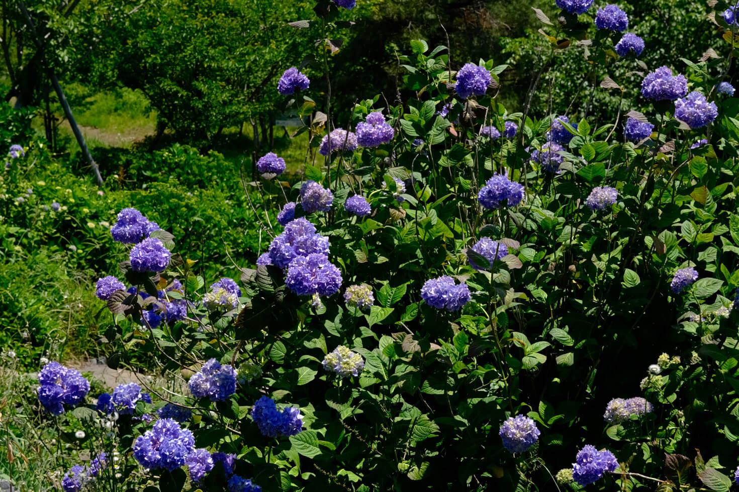 湘南平の山頂周辺には200 種類、4000 株のアジサイが咲いていた。見頃は6月から7月にかけての梅雨シーズン。写真は山頂近くに咲いていたホンアジサイ。 ●F5.6 ●1/500秒 ●ISO160 ●Velvia