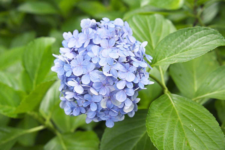 実は大人になってからの私が一番好きな「あじさい園」。園北側の高台に150品種1万株ものあじさいが初夏を彩る。素朴なヤマアジサイの数々も珍しい。春にはこたつで花見など、園芸を楽しむのは初代持ち主藤田氏からの伝統だ。