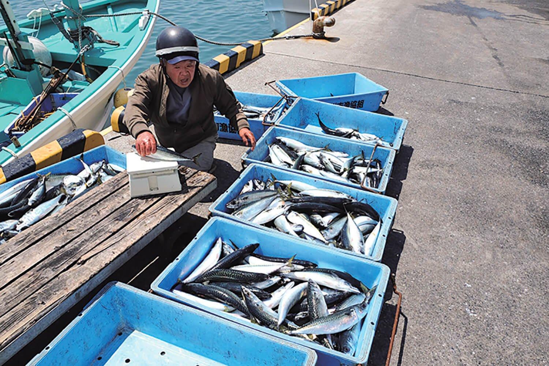 鴨川漁港では秤にかけてサバの選別をしていた。