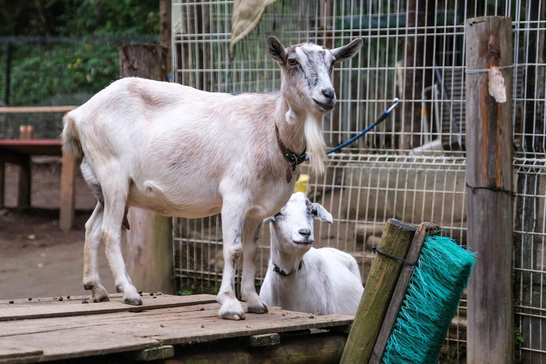 「ミニ動物園」では大人もヤギのエサやりを体験できる(1人1回)。