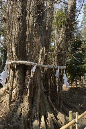 大國魂神社 イチョウの木