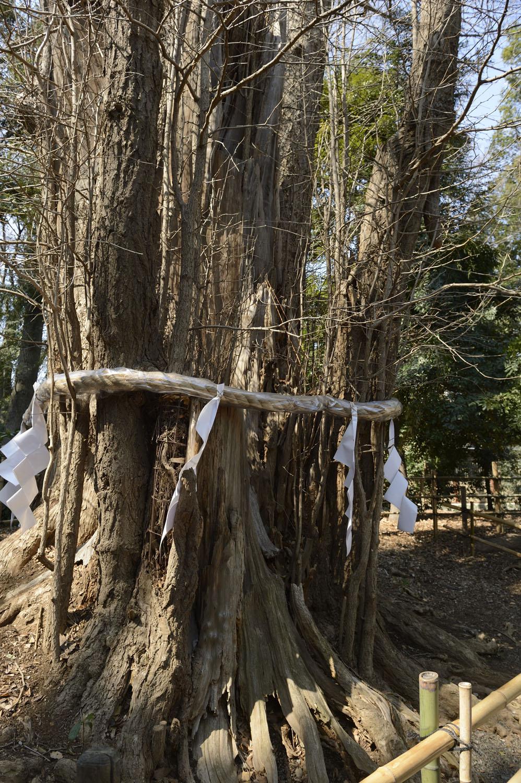 拝むと母乳の出がよくなるとされるイチョウの木。