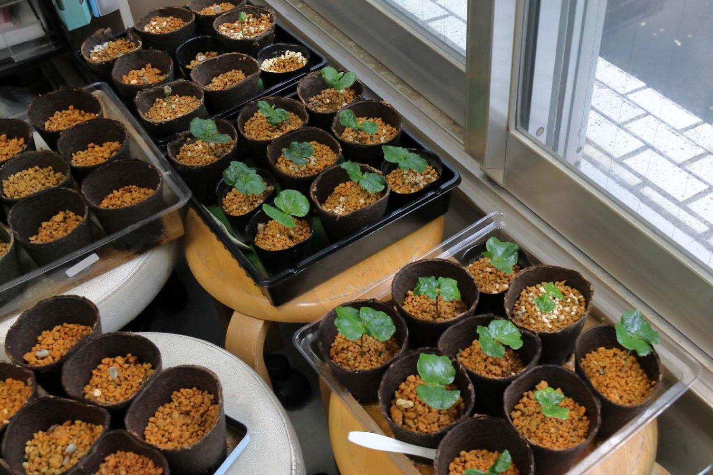 窓辺ですくすくと育つコーヒー苗に日本産コーヒーの夢が膨らむ。