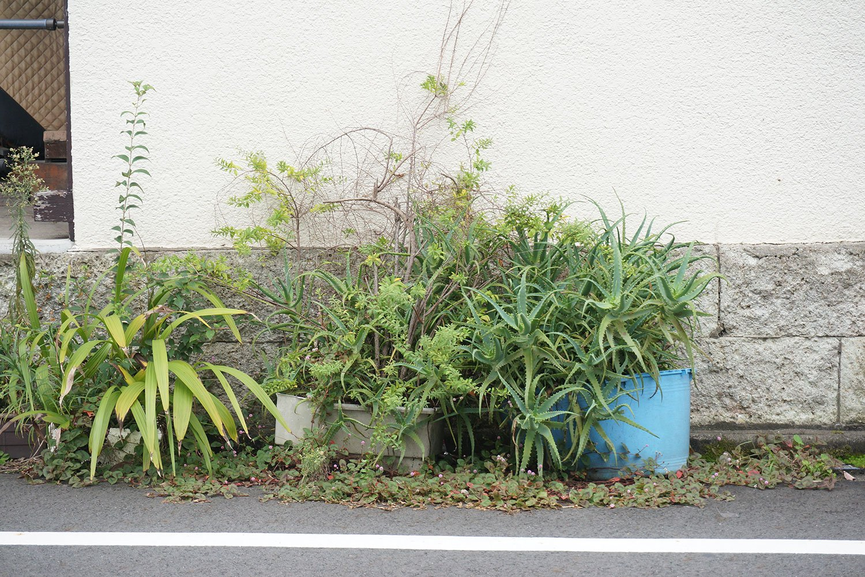 放置され気味の路上園芸は野生のように増殖。外に飛び出したり、周囲の雑草と一体となって広がったりする。こうした光景を見るのも路上園芸観察の楽しみだ。村田さんの取材時に押上にて撮影。