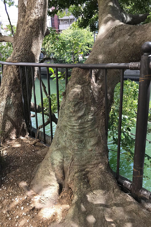 金属の柵を飲み込んで成長したクスノキとエノキ。このように木が障害物を飲み込んだ状態を村田さんは「すり抜け」と呼んでおり、類似の事例を本の中でも多く紹介している。写真提供=村田さん。