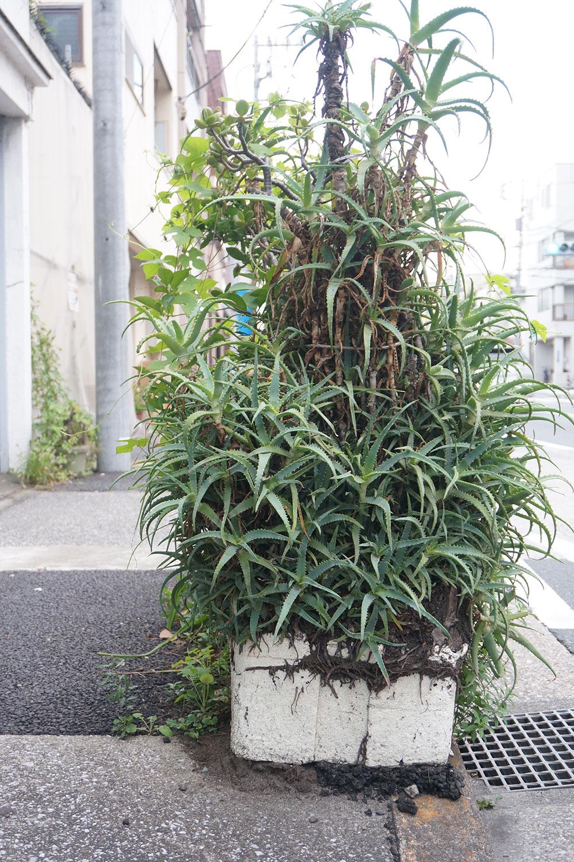 こちらではトロ箱に入れられたアロエが植栽脇でジャングル化していた。