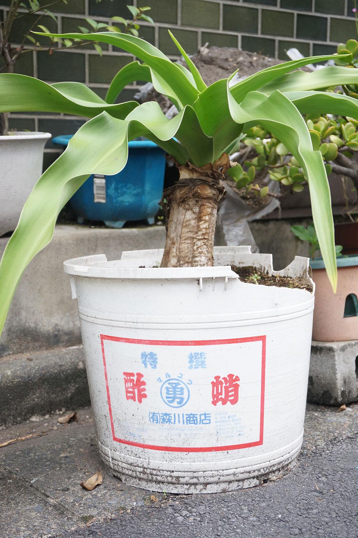 こちらは酢だこの樽。こちらも路上園芸の「転職鉢」では定番だ。「高菜や味噌の樽も多く見ますね。サイズが大きいので、大きめの木も育てられるところが便利なんだと思います」と村田さん。