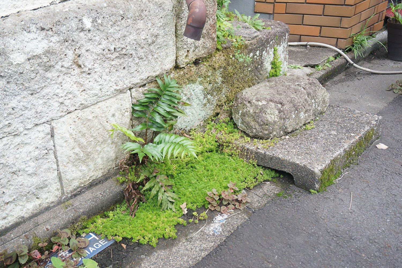 シダ植物やセダムが広がった路肩部分は、ちょっとした侘び寂びも感じる空間となっていた。「上から水が落ちてきやすいのか、植物の一等地になってますね」と村田さん。