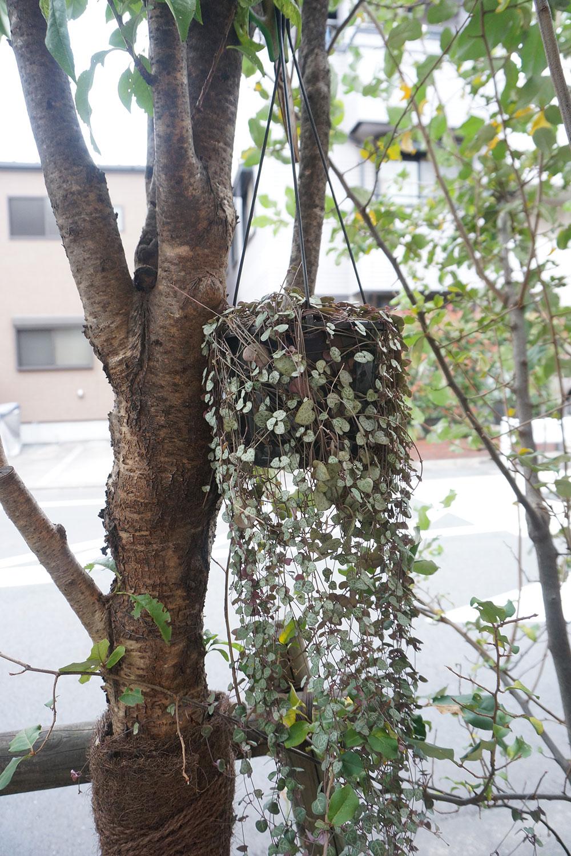 街路樹に誰かがハンギングしたと思われるワイヤープランツ。「これは……グレーですね(笑)」と村田さんも苦笑い。