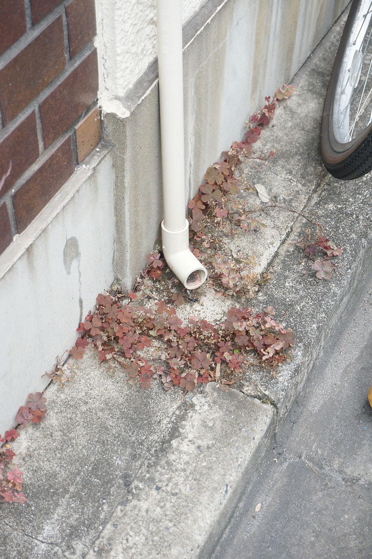 これはアカカタバミという植物だそう。