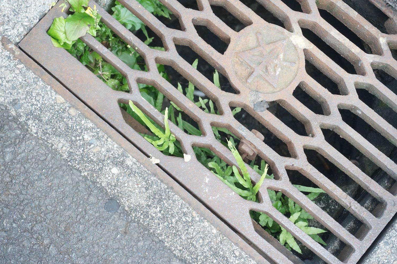 「グレーチング(格子状の蓋)の下もドロとか水が貯まるし、意外と太陽光も入るので、植物の宝庫なんです。シダ植物は生えやすいですね」と村田さん。