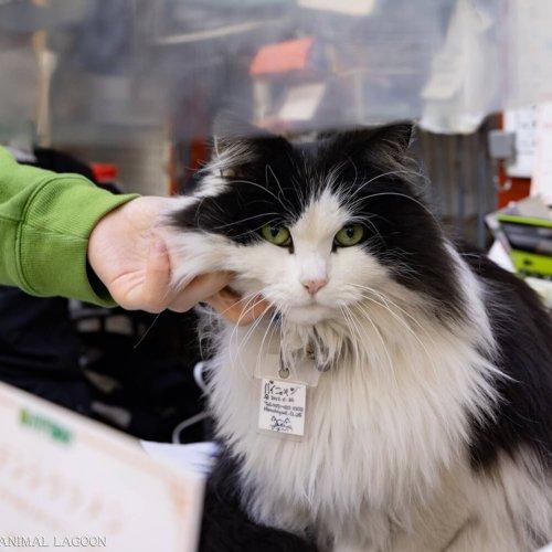 【看板猫がいるお店】船橋『伊東屋』のパイニャンさんとちびたん