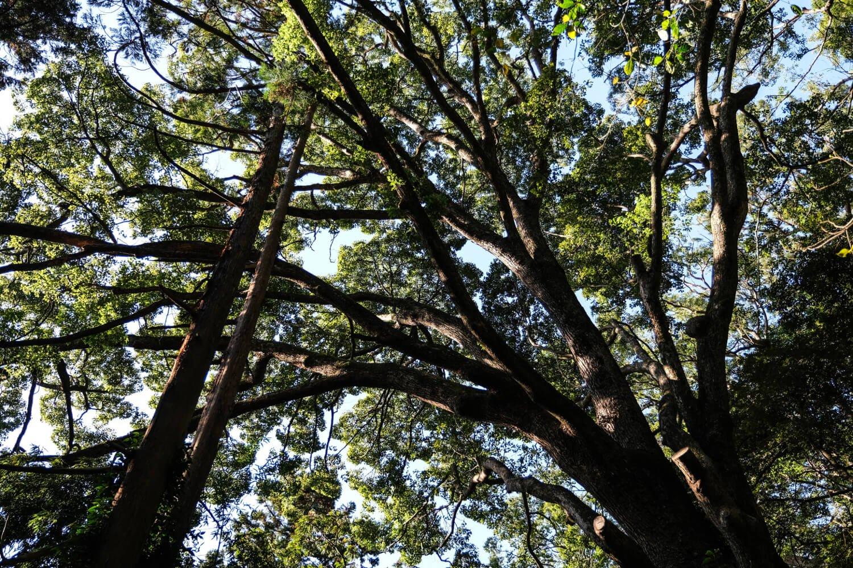頭上を巨樹が覆い、人工林とは思えないほどうっそうとしている。