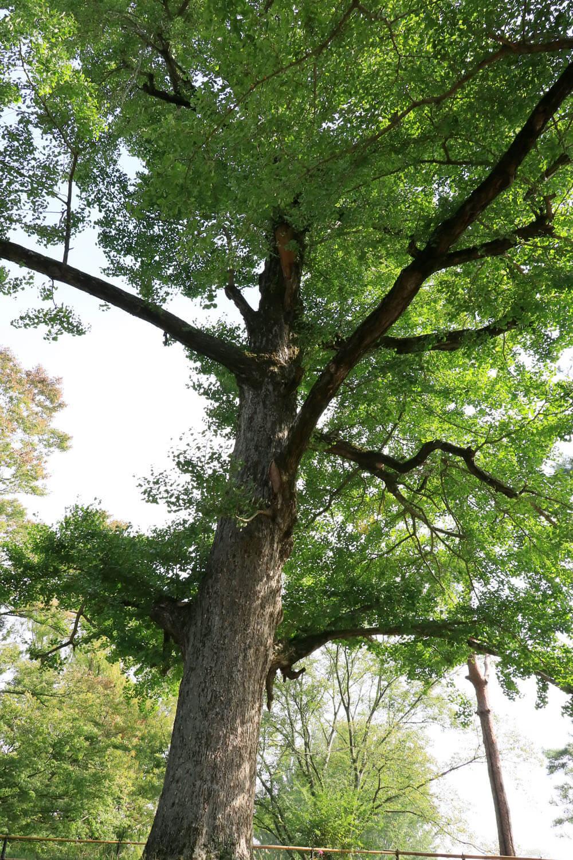 大イチョウ。天に向かって幹が一直線に伸びている。