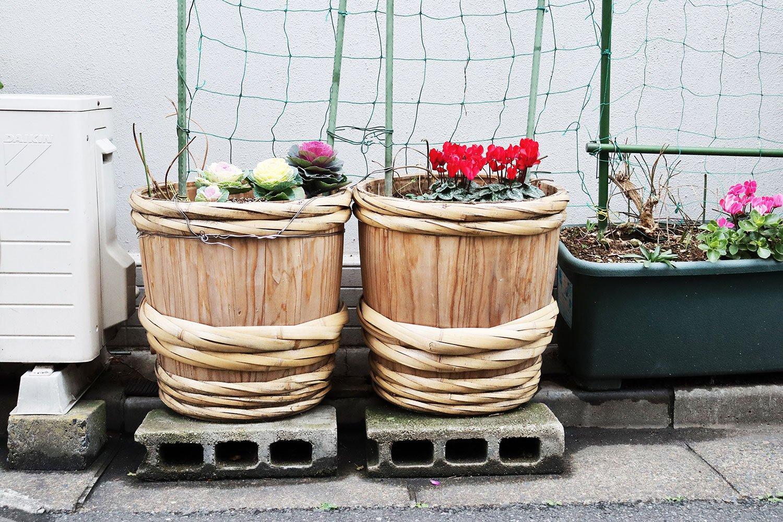 新し目の大きな酒樽に植えられたハボタンとシクラメン。