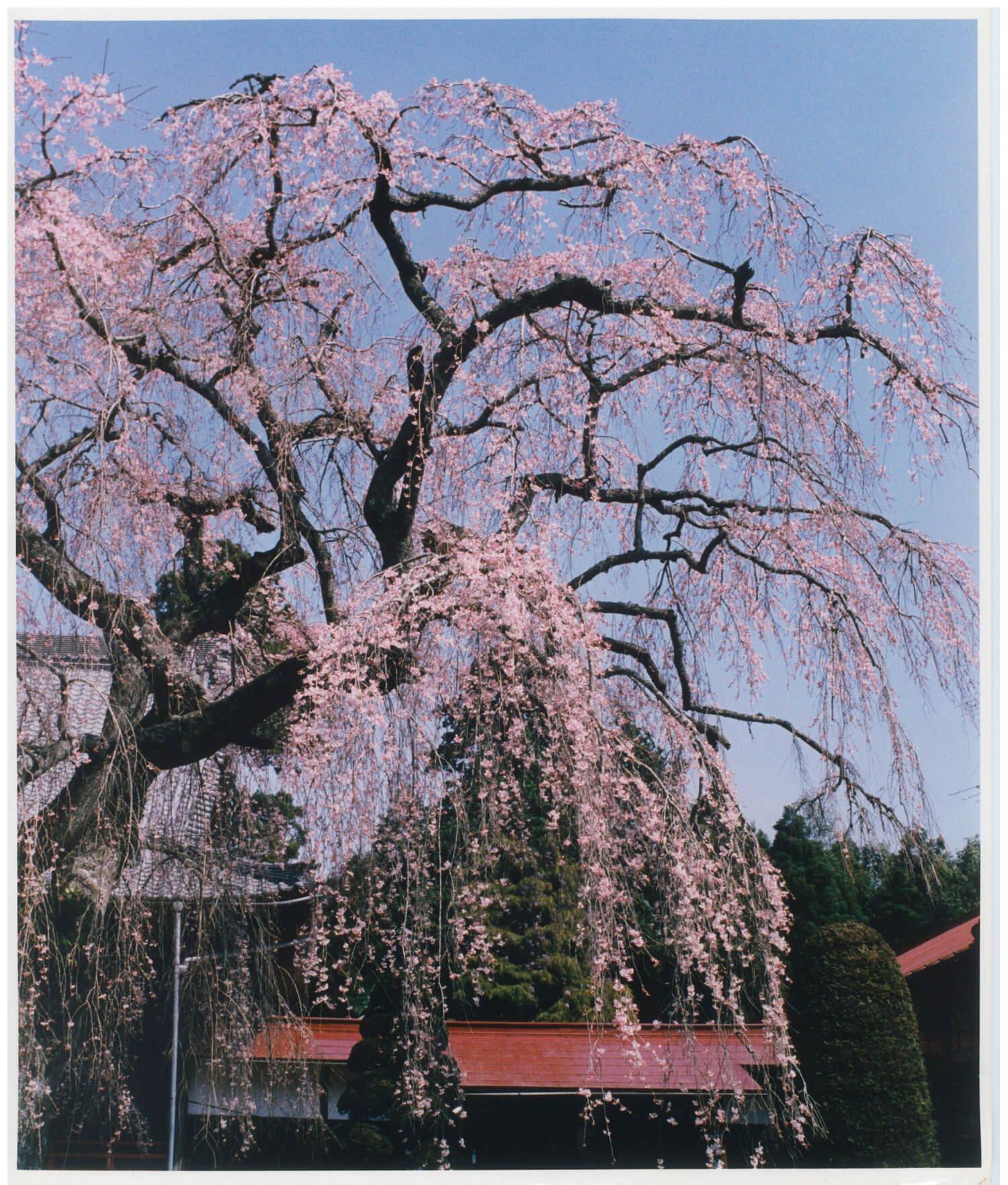 参道脇にしだれ桜が立ち並ぶ(妙宣寺)。(各写真提供:山武市わがまち活性課)。
