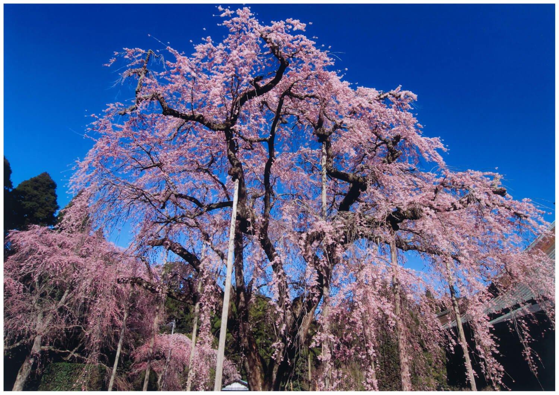 樹齢約300年のウバヒガンしだれ(長光寺)。