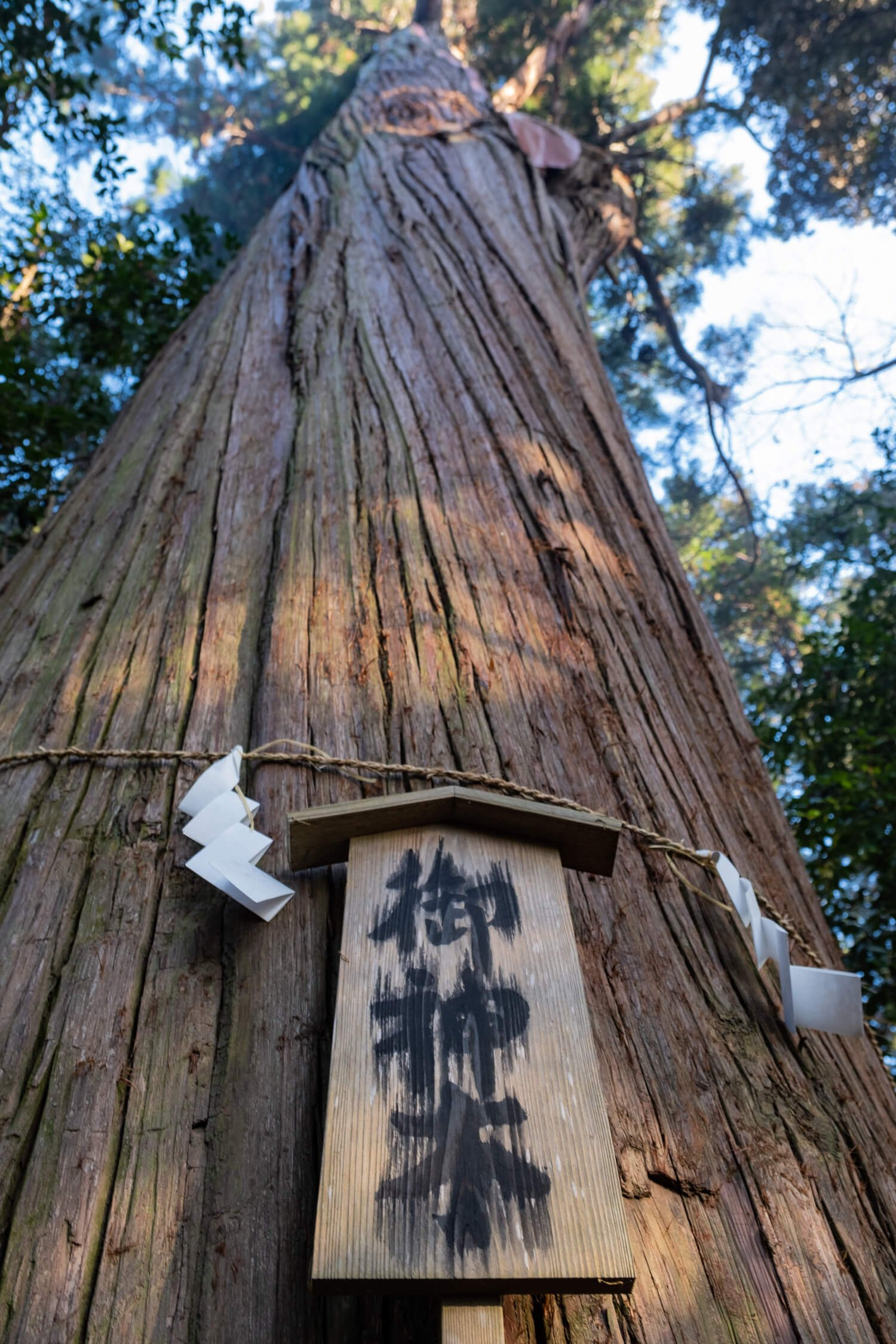 威風堂々と立つ大杉。見上げていると首が痛くなるほどの高さだ。