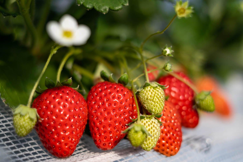真っ赤に熟した深い甘みのさちのか。時季によりおすすめ品種は変わる。