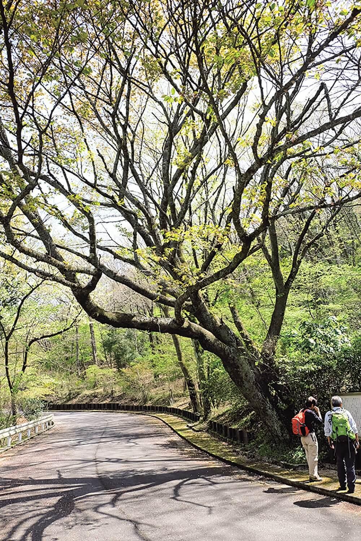 奥山家古道そばの頼朝桜。1881(明治14)年に台風により倒れたが、根元から出た枝が育ったのだとか。