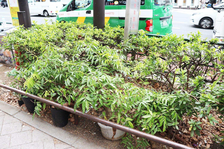 街路樹に擬態するフジの鉢植え。鉢が少し割れているので、植え込みの土に根を下ろしているかもしれない。