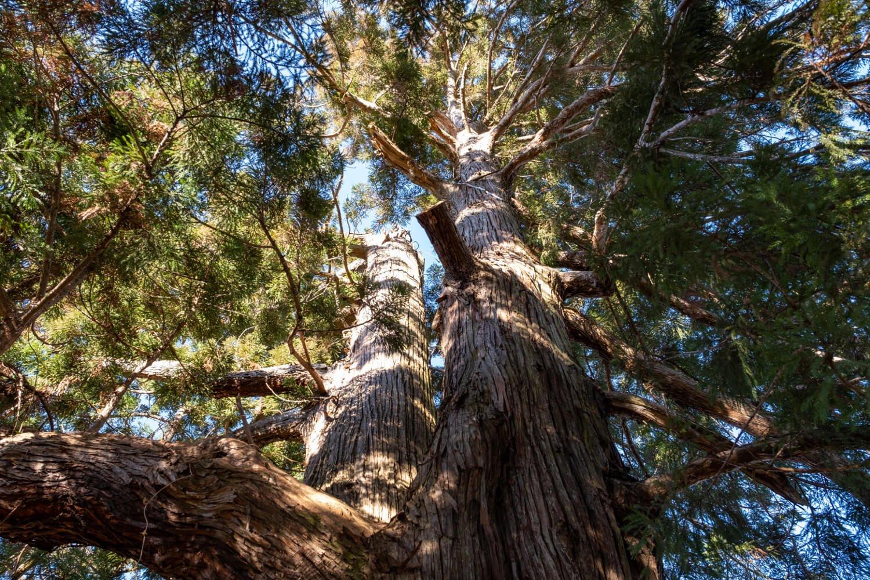 もともとはそれぞれ別の2本の杉だったが、1本に合着している。