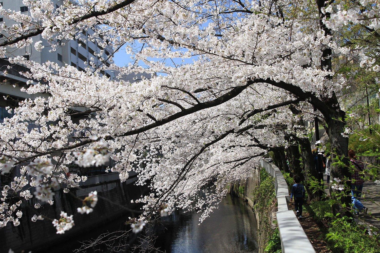 神田川沿いに細長く続く江戸川公園は、春、桜のピンクに染まる。