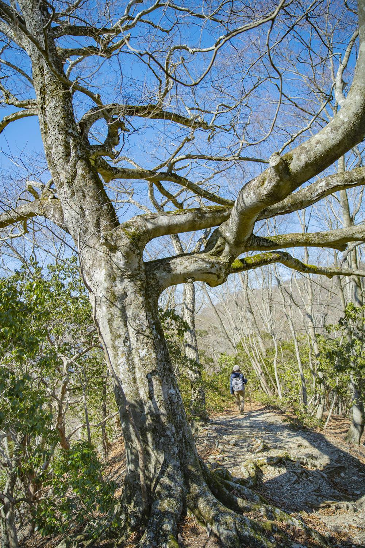 ウノタワ近くでは、ブナの巨木が枝をくねくねと大きく伸ばす。